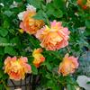 インパクト大のバラ  ーポールセザンヌー