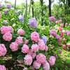 【紫陽花】まだ間に合う!満開の紫陽花がきれいすぎた!【大阪】