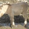 多摩へモウコノウマの仔馬に会いに行く