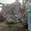 19年弥彦公園の桜