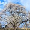 淡墨桜の名所!栃木県下野市『天平の花まつり』に行ってきた