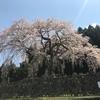 岐阜県観光大使の桜情報~茶畑と一本桜~