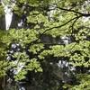 妙本寺のカエデ新緑&今日の独り言
