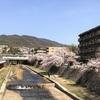 芦屋川で1人お花見🌸