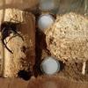 マンディブラリスフタマタクワガタ 産卵セット投入