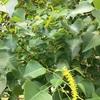 ナンキンハゼの黄色い花