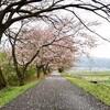 ジョギングで藤古川の桜並木を愛でる【2021年版】