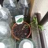 一鉢50円で買った見切りのゴーヤを鉢に植える