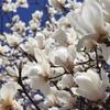 【鎌倉いいね】緊急事態宣言の延長で鎌倉の3月の行事の行方は。