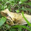 ボタニコの池で変わったカエルを発見