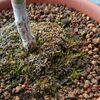 モミジの鉢に苔の蒴柄・二月