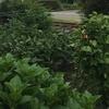 「今年の畑」〜新米百姓、癒しの農業