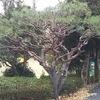 珍しい松の剪定(多行松)