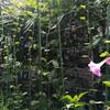 ピンクが咲く。9本登頂。
