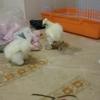 鶏の室内飼い・烏骨鶏の場合
