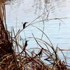 コバルトブルー2羽のカワセミ