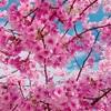 満開の河津桜に春を感じて来ました〜春よ来い♡