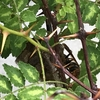 豊橋市で庭のバラにできた蜂の巣駆除してきました!羽化直前の幼虫も見つけたよ!