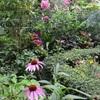 百合やエキナケアで個性的な庭造り