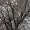 #45 相生月子・卑弥呼抄〔幻〕 ◇ 彼岸の雨の満開の花