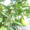 うちのなぞの果実