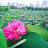 *早朝のタイ湖【Công viên nước Hồ Tây】蓮を見てきました*