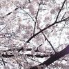 桜ドライブ2019(宮ケ瀬)