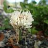 シロツメクサでマメ科の花の形を知ろう!(蝶形花(ちょうけいか))