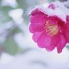 立冬初候は『山茶始開(つばきはじめてひらく)』