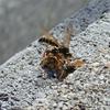 フタモンアシナガバチ ♂