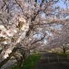 #53 大島堤と桜並木  │ お花見・景観遺産ジョギング