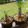 今日のパキポディウム・グラキリスと、自作ベランダの壁用植物台