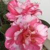 ドラマガールバー咲く大きな花姿!!桃色卜伴は安定感!