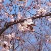 帯広でサクラ開花宣言 昨年より1日遅く 2017/05/01 12:26