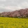 幸手権現堂桜堤 、圧巻の桜と菜の花のコントラストに言葉を奪われる。【埼玉・幸手市】