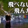 0921【奇形で飛べないカルガモ飛翔】エンジェルウイング。スズメの水浴び、カラスにイソシギ、ハクセキレイ。新米稲刈り、トノサマガエルが逃げる。メラニズム亀【今日撮り野鳥動画まとめ】 #身近な生き物語