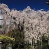 京都西山「善峯寺」桜 2019