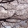 桜見物行ってきた