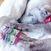 打倒アトピー、痒みには犬用靴下で爪を徹底ガード!