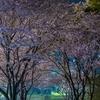 天王公園の桜 2021.3.30