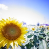 太陽の花 向日葵