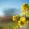早咲きの菜の花:今日は七草