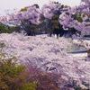 姫路城のさくら