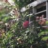 ピカピカのお前の赤い花が役に立つのさ
