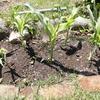 庭トウモロコシに追肥 平さやいんげん