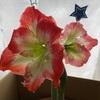 2つ目の花芽もどんどん成長^ ^