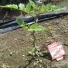 家庭菜園のトマトがバオバブ状態に!!病気かどうかの見定めは難しい。