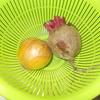 週末農業レシピ(ビーツ・タマネギと鶏肉のトマト煮)