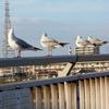大和川でカモメのようなウミネコのような鳥が大量に飛んでたので戯れてきたぜっ!!【大阪市&堺市】