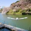 千鳥ヶ淵の桜にキャモメ【ポケモンGOAR写真】今年はボートのない景色